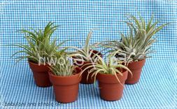 """1-1/2"""" Plastic Micro Mini Pots, Thumb Pots for Air Plants &"""
