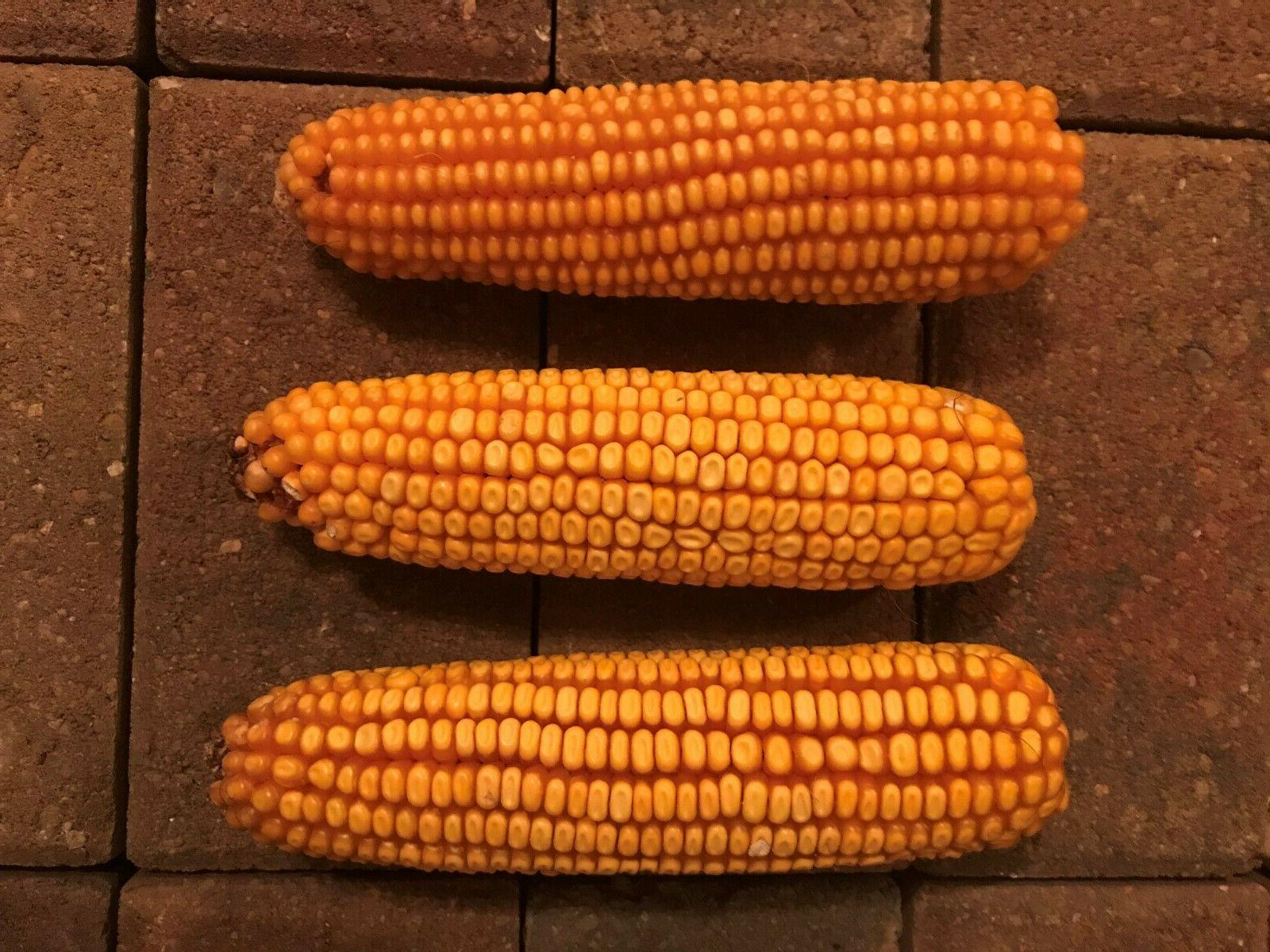 ear corn for birds wildlife pets