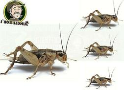 Pet Lizard Live Cricket Feeders - Alive Insect Crickets Rept